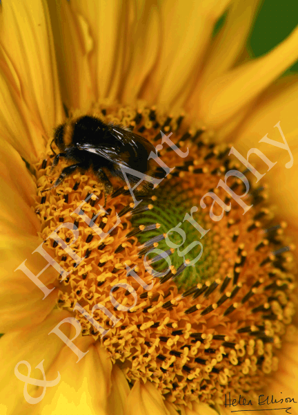 Bee on Giant Sunflower 01